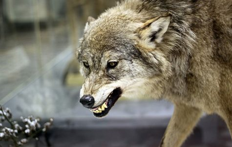 Wolves: Separating Myths from Truth