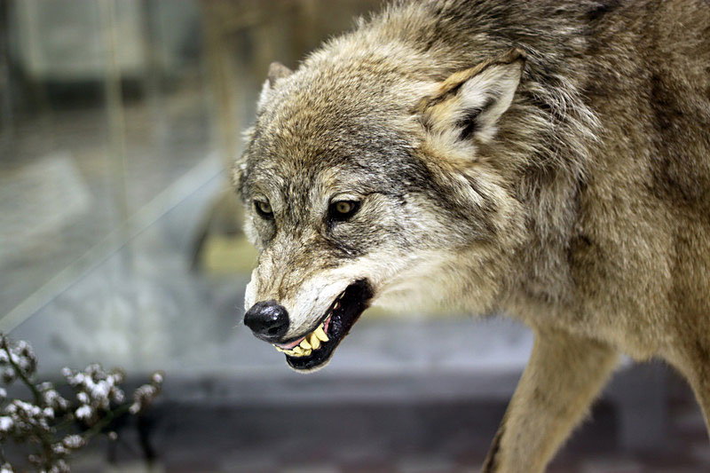 Wolves%3A+Separating+Myths+from+Truth